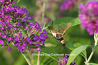 04005-00305 Snowberry Clearwing (Hemaris diffinis)  on Butterfly Bush (Buddleia davidii) Marion Co.  IL