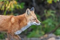 Red fox, Denali National Park.