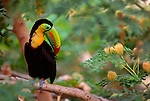 Keel-billed toucan, Colombia
