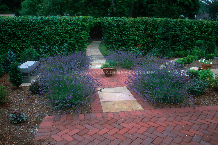Lavender herb in flower growing in circular garden with pretty brick walkway, green hedge, garden bench in backyard