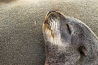 Portrait of a young Fur Seal sleeping with its head on another seal