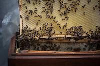 Berlin, Imker Uwe Marth zeigt am Mittwoch (22.05.13) auf dem Dach des Berliner Doms anlässlich Vorstellung einer Bienen-App, die Bienen. Ministerin Ilse Aigner besichtigt Bienenstöcke auf dem Dach des Berliner Doms und stellt neue Bienen-App vor.