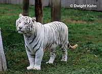 MA40-011z  Bengal Tiger - white phase - Panthera tigris