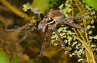 389880003 a wild fishing spider genus dolomedes possibly dolomedes triton near empire creek las cienegas natural area santa cruz county arizona united states