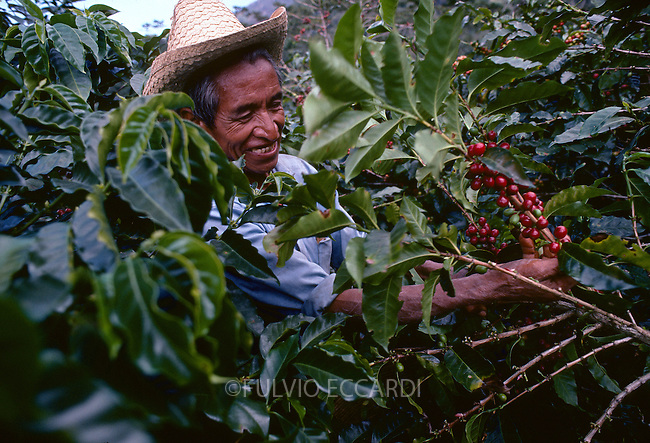 Guatemala, Antigua, coffee, coffea, organic, arabica, cherry, cherries, harvest, process, pick, select, ripe, green, red, worker, man, foliage