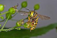 Waldwespe, Wald-Wespe, Wespe, Dolichovespula sylvestris, Tree wasp