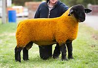 Kelso Ram Sale 2018<br /> Lot 3640       suffolk 5000gns JG Douglas Cairness<br /> ©Tim Scrivener Photographer 07850 303986<br />      ....Covering Agriculture In The UK....