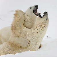 2 polar bears play-fight together and end up in this Opera Singers position, Polar Bear Point, Wapusk National Park, Manitoba, Canada, November 2006