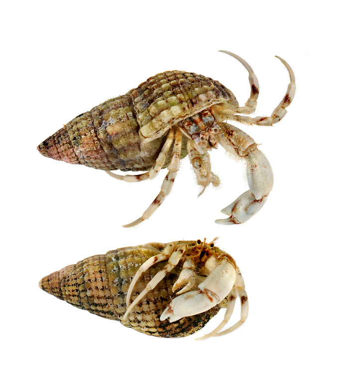 south clawed hermit crab<br /> Diogenes pugilator