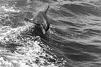black and white composition Dolphin Wave Ride, spinner dolphin, Stenella longirostris, Kona Coast, Big Island, Hawaii, USA, Pacific Ocean