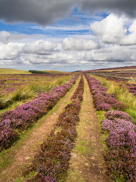 Farm Track across Heather Moorland near Wooler Northumberland National Park England