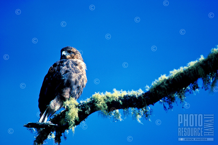 Endangered Hawaiian hawk or io, (buteo solitarius).
