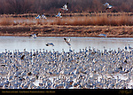 Snow Geese at Sunrise, Ladd Gordon Waterfowl Complex, New Mexico
