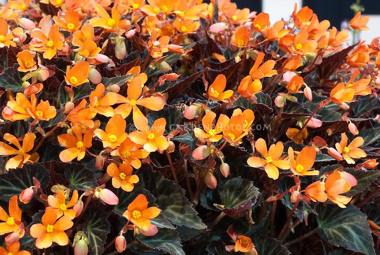 Begonia 'Glowing Embers'