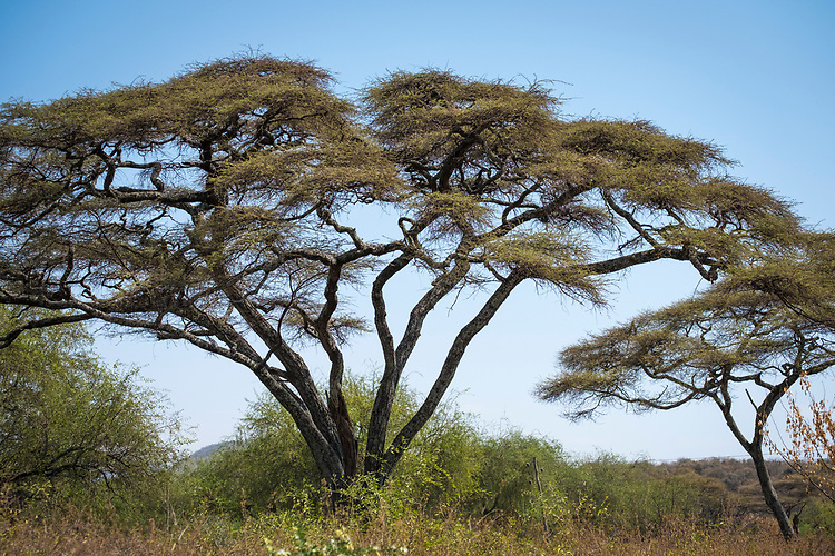 Various types of graceful Acacia trees are found throughout Ethiopia, particularly in the southern part of the country.