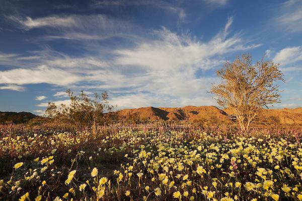 Desert in bloom with Desert Dandelion (Malacothrix californica), Arizona lupine (Lupinus arizonicus), Joshua Tree National Park, California, USA