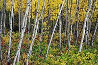 Aspen tree forest in Central Saskatchewan, Prince Albert National Park.  Fall.