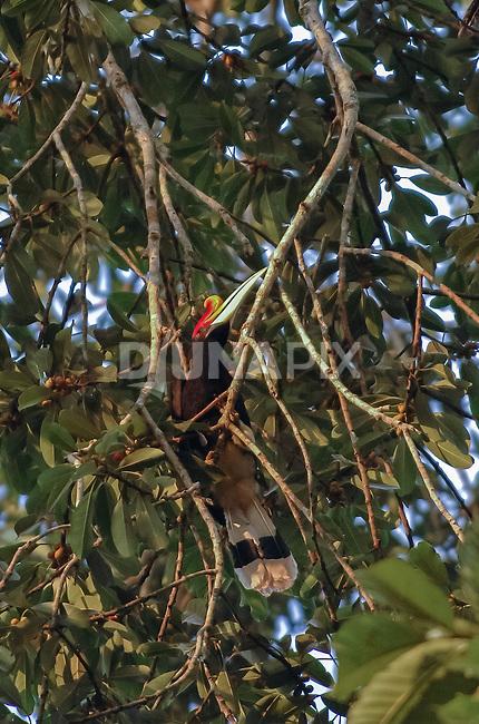 A Rhinoceros hornbill (Buceros rhinoceros) hunts ripe figs.