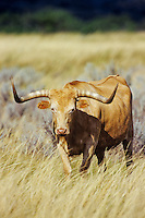 Texas Longhorn (cattle), Western U.S.