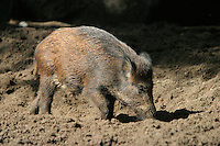 Germany, DEU, Muenster, 2004-Sep-08: A wild boar (sus scrofa) searching for food in the ground of the Muenster zoo.