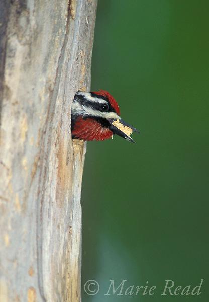 Yellow-bellied Sapsucker (Sphyrapicus varius)male excavating nest hole, New York, USA