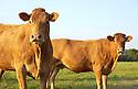 13/09/04 - PLATEAU DE MILLEVACHES - CREUSE - FRANCE - Vaches Limousines - Photo Jerome CHABANNE