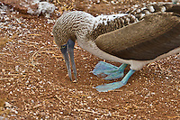 Close up of a female Blue-footed Booby preparing her nest in the red sands of Rabida Island by picking up a pebble with her beak in order to remove from her nesting site.
