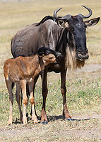 Wildebeest Mom and Baby 2