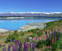 New Zealand, South Island, Lake Pukaki: View of Lake with Lupins | Neuseeland, Suedinsel, Lake Pukaki: bluehende Lupinen am See