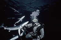 Blue Shark (Prionace glauca) biting diver wearing protective chain mail suit, California (USA) - Pacific Ocean