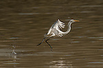 The Eastern Great Egret (Ardea alba modesta) hunting for fish along Coopers Creek.