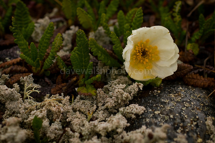Dryas octopetala, Mountain Avens in Tundra, Denali National Park..