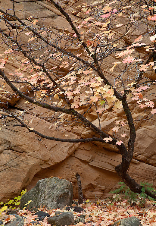 A bigtooth maple (Acer grandidentatum) shows pastel autumn colors against the sandstone cliff walls of Pumphouse Wash, Arizona