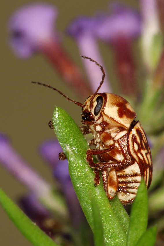 Flea beetles is a general name applied to the small, jumping beetles of the leaf beetle family (Chrysomelidae).<br /> Butterfly bush flowers background.