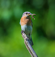 Courtesy photo/TERRY STANFILL<br /> NO BLUES ABOUT FOOD<br /> A bluebird is seen with a meal in mid June near Decatur.