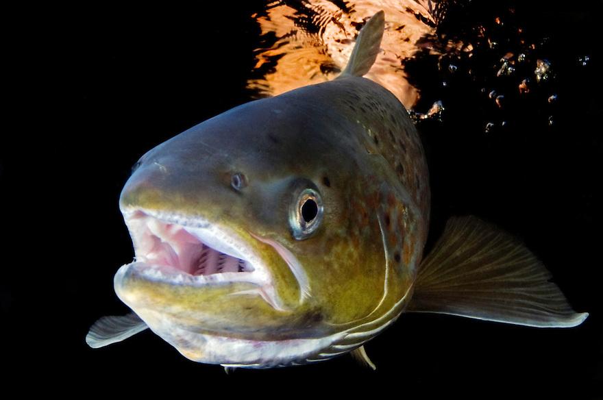 Atlantic salmon, Salmo salar<br /> River Orkla, Rennebu, Norway<br /> Model name: - Photographed at catch/release fishing.