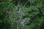 Green-winged macaws, Tambopata River basin, Peru