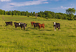 Cattle on a summer day in northern Wisconsin.