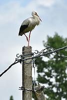 JUL 05 White stork in Panevezys, Lithuania