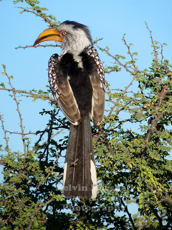 The Southern Yellow-billed Hornbill (Tockus leucomelas) is a Hornbill found in southern Africa. It is a medium sized bird, with length between 48 to 60 cm, characterized by a long yellow beak with a casque (casque reduced in the female). The skin around the eyes and in the malar stripe is pinkish. The related Eastern Yellow-billed Hornbill from north-eastern Africa has blackish skin around the eyes.