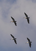 October 25th 2003_Lake Maubara,East Timor-Australian Pelicans sail over Lake Maubara near Maubara town West of the Timorese capital of Dili.  These birds are regular visitors from Australia and largest bird found in East Timor.  Photo by Daniel J. Groshong/Tayo Photo Group