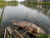 Vissterfte (karpers) in Leeuwarden, mogelijk veroorzaakt door de karperziekte | Fish kills