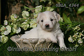 Bob, ANIMALS, REALISTISCHE TIERE, ANIMALES REALISTICOS, dogs, photos+++++,GBLA4364,#a#, EVERYDAY