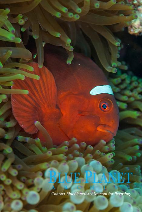 Spinecheek Anemonefish, Premnas biaculeatus, in Magnificent Sea Anemone, Heteractis magnifica, Uhak Reef dive site, Uhak Village, Wetar Island, near Alor, Indonesia, Banda Sea, Pacific Ocean
