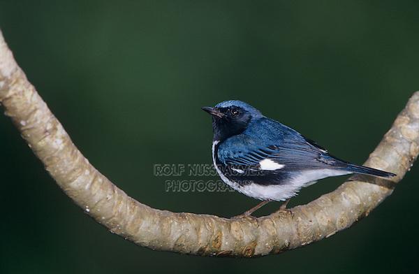 Black-throated Blue Warbler, Dendroica caerulescens, male, Rocklands, Montego Bay, Jamaica, Caribbean