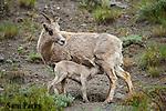 Bighorn sheep ewe nursing newborn lamb. Yellowstone National Park, Montana.
