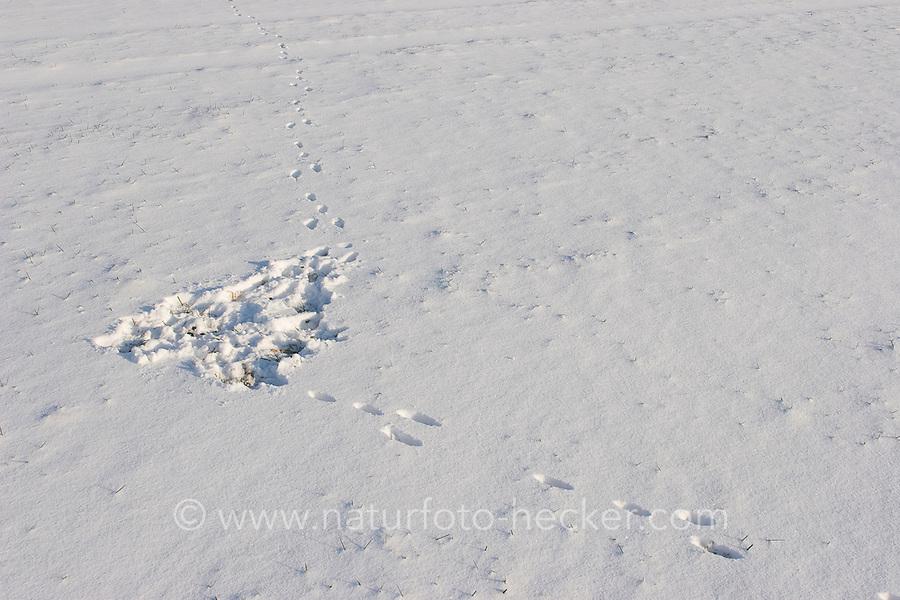 Feldhase, Feld-Hase, Hase, Trittsiegel, Spur, Pfotenabdrücke im Schnee, Hase hat den Schnee bei der Nahrungsuche weggekratzt,  Lepus europaeus, Lepus capensis, Brown hare, Lièvre brun