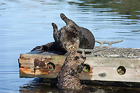 Sea Otter (Enhydra lutris) mom helping pup up onto boat dock.  Pup is too small to climb up by itself so mother is lifting it up onto boat dock.  Prince William Sound, Alaska.