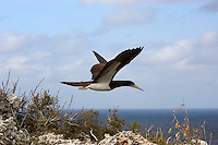 Brown Booby BIrd (Sula leucogaster) in flight over the Cayman Brac bluff, Cayman Islands
