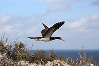 Brown Booby BIrd (Sula leucogaster) in flight over the Cayman Brac bluff, Cayman Islands